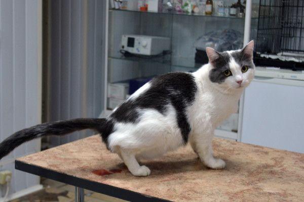 Котик на столі мочиться з кров`ю