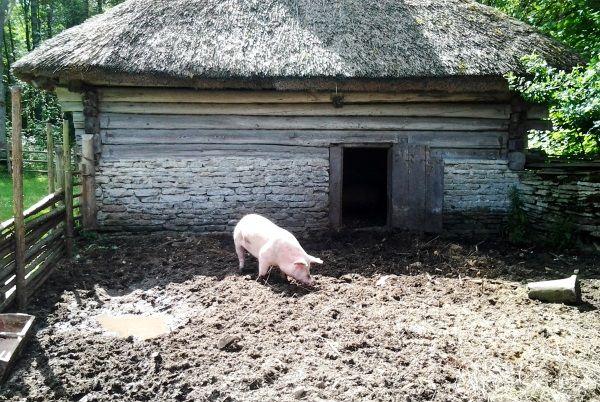 Що потрібно врахувати при вирощуванні свиней в домашніх умовах