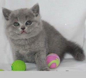 Що приготувати кошеняті