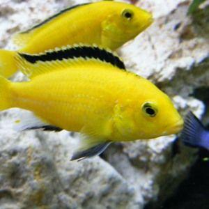Що собою являє акваріумна рибка ціхліда еллоу і що виділяє її серед родичів?