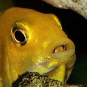 Yellows sind wie fast alle Malawi-Barsche Maulbr ter. Hier sieht man die kleinen schon einen ersten, scheuen Blick aus dem Maul der Mutter werfen.
