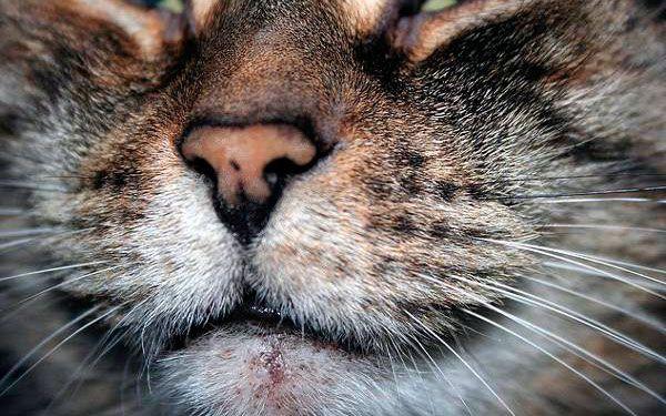 Що таке акне і як його лікувати у кішок