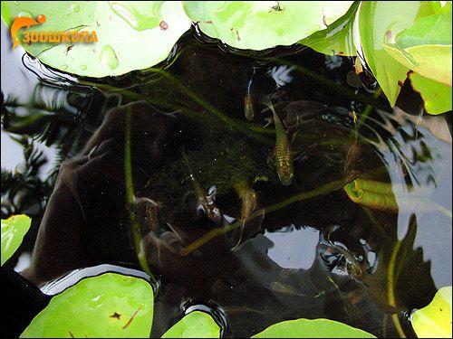 Гуппі (Poecilia reticulata), Фото фотографія риби картинка