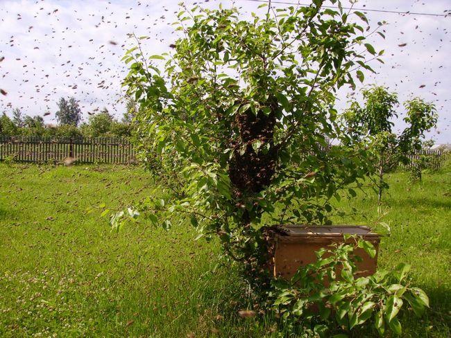 Що за процес - роїння бджіл і як позбутися від нього?