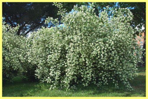 Бузок вирощування і догляд: фото