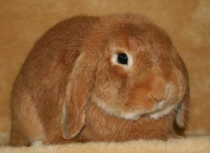 Чумка, глисти, лишай та інші: рятуємо кроликів від небезпечних недуг