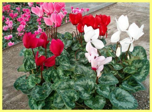 Цикламен вирощування з насіння: фото
