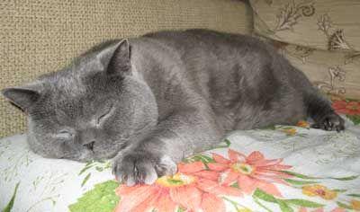 Британська кішка золотого забарвлення