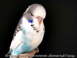 Cтандарт wbo: блакитний голландський строкатий