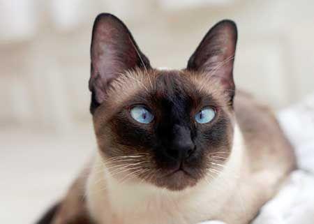 Колір очей сіамських котів.