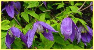 Квіти клематиси посадка і догляд фото