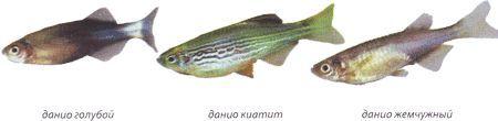 Даніо реріо споріднені види