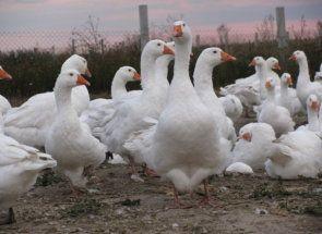 Данські гуси-важковаговики: все про породу легард