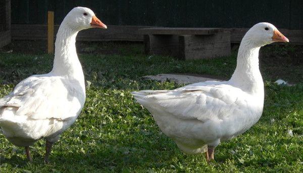 Дорослі датські гуси