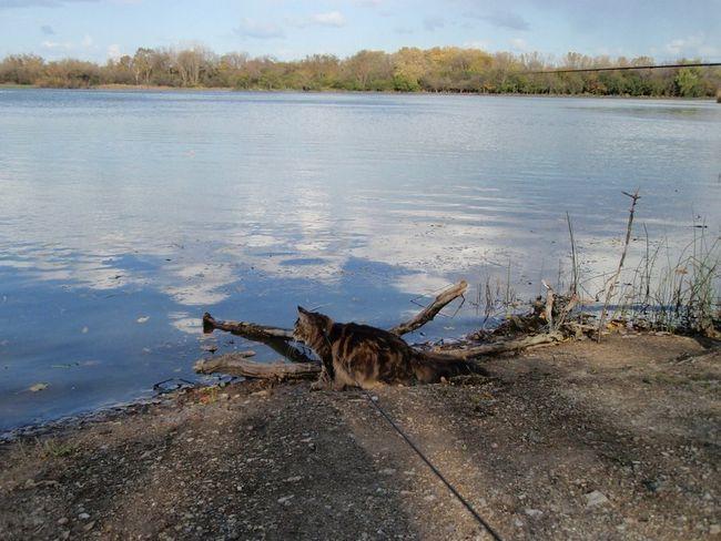 Від природи мейн-куни просто обожнюють воду
