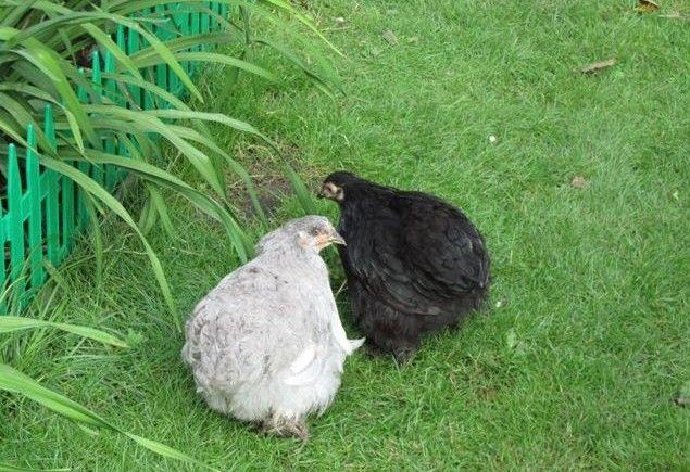 Сіра і чорна курки Кохинхин
