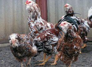 Декоративна порода курей - орловська ситцева: що потрібно знати заводчикам?