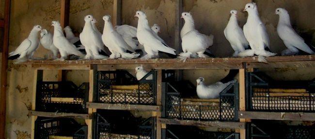 Робимо будинок для голубів своїми руками