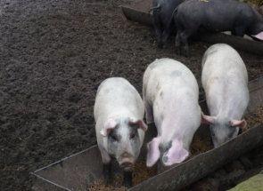 Робимо годівницю свиням самостійно