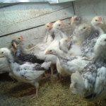 Курчата в домашніх умовах