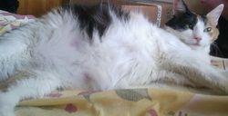 вагітна кішка