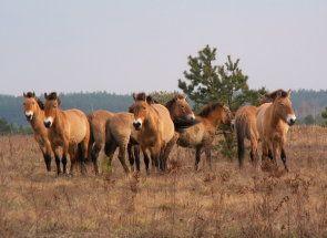 Діти монгольських степів - коні пржевальського