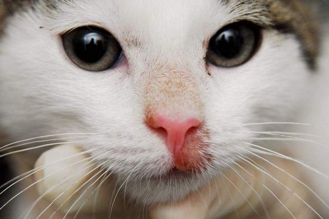 Медикаментозний дерматит у кішок характеризується місцевим почервонінням шкіри і випаданням вовни.