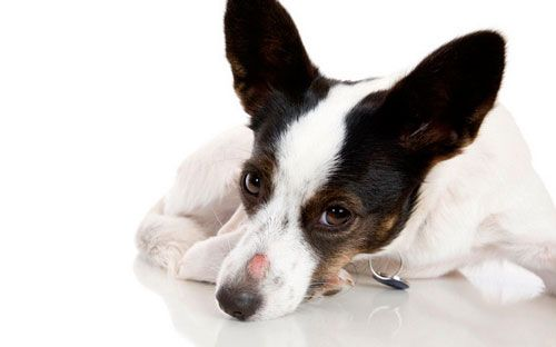 у собаки микроспория