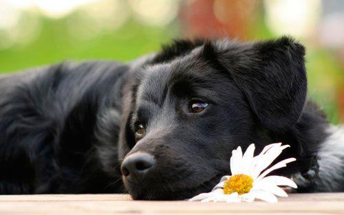 Діагностика та лікування простатиту у собак