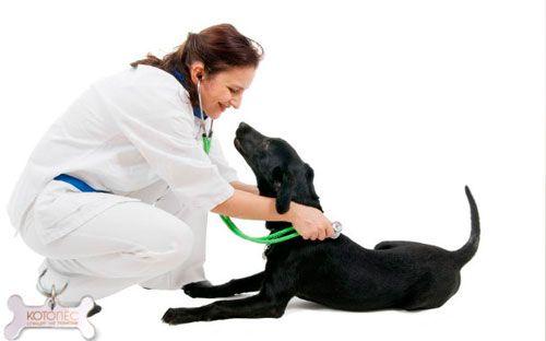 виявлення простатиту у собаки