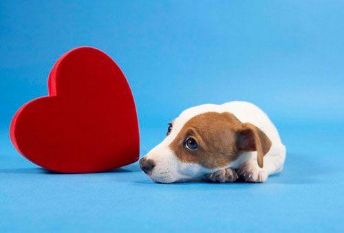 у собаки серцева недостатність