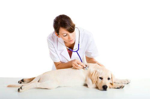 лікування серцевої недостатності у собак