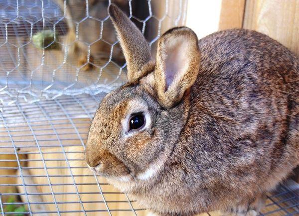 Діарея у кроликів - причини і лікування