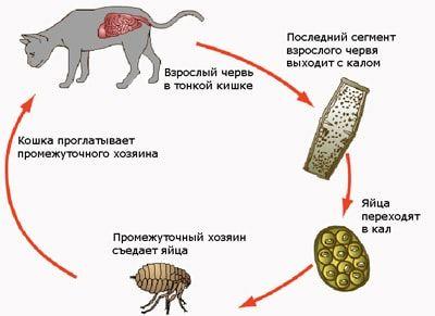 Життєвий цикл Dipylidium caninum.