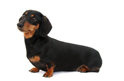 Дископатия: чи є шанс у собаки на повноцінне життя?