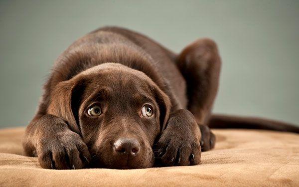 Дисплазія суглобів у собак: особливості та причини захворювання
