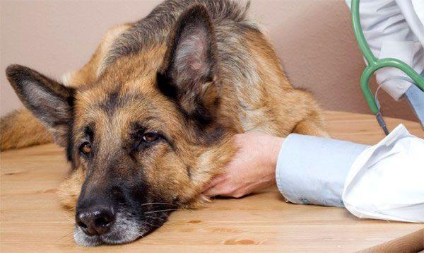 лікування дисплазії у собак