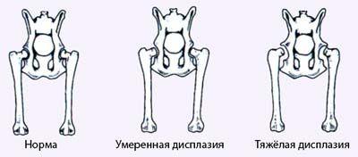 Природжений вивих стегна у кішок