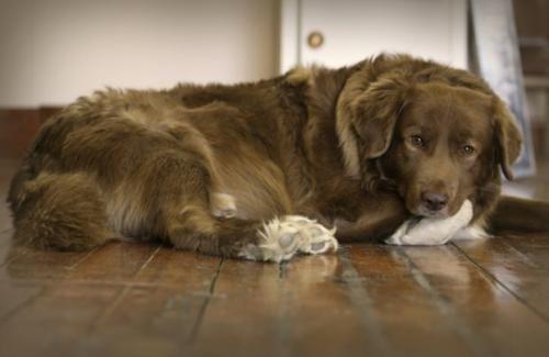 Дисплазія кульшового суглоба у собаки
