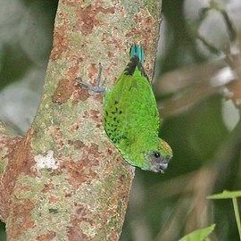 Дятловие папуги (рід micropsitta) дятловим папужка сальвадоріmicropsitta keiensis