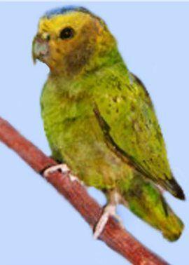 Дятловие папуги (рід micropsitta) дятловим папужка склетераmicropsitta pusio