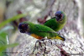 Дятловие папуги (рід micropsitta) дятловим папужка шлегеляmicropsitta geelvinkiana