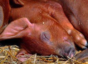 Дюрок - американська порода свиней м`ясної продуктивності