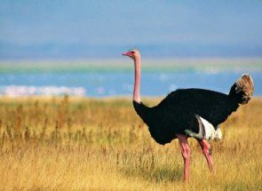Довгоногий бігун родом з африканського континенту - страус