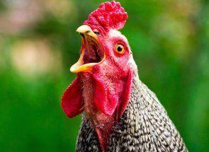 Дохнуть кури: порятунок життя птахів - справа рук дбайливих птахівників