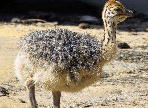 Будинок страуса в природі - де він?