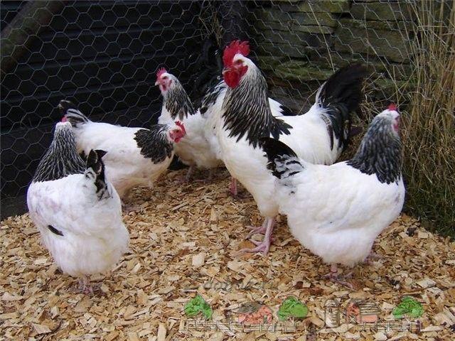 Чи можна закласти яйця в інкубатор від курей, які брали вітаміни?
