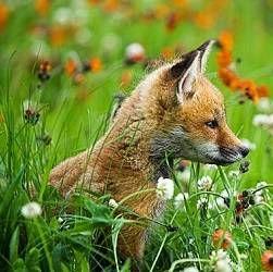 Домашня лисиця: зміст, годування, догляд