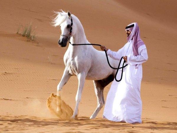 Арабська білий скакун в пустелі