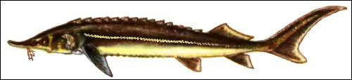 Сімейство осетрові риби (acipeuseridae)